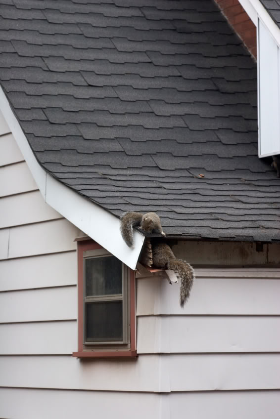 how to get rid of squirrels in attic and walls