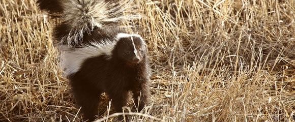 New Jersey skunk control